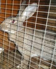 Продажа кроликов различных пород  в Волгограде