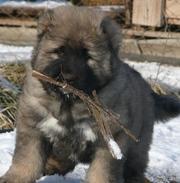 Щенки кавказской овчарки-маленькие медвежата