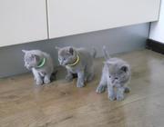 продаются котята породы РУССКАЯ ГОЛУБАЯ