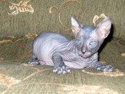 Котёнок донского сфинкса-голый мальчик