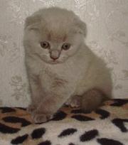 Котята породы Скотиш фолд