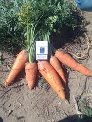 морковь и лук со склада оптом