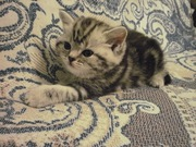 Продаются котята породы шотландская вислоухая,  страйт