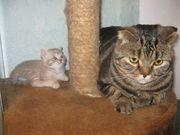 шотландские очаровательные котята