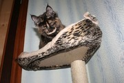 Шоу-котята мейн-куны. Доставка