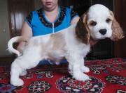Продаю щенков американского кокер-спаниеля