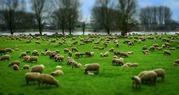 Овцы мясных пород живым весом.